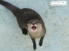 Cape Clawless Otter Photo by Kawausosu