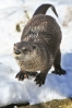 Admiral the North American River Otter Photo by Jeff Gerew
