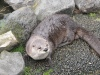 Canadian_otter