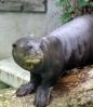 Giant_otter_2