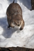 North American River Otter Photo by Jeff Gerew