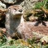 River_Otter-27527